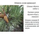 Для відновлення лісів потрібна допомога у зборі шишок сосни та жолудя дубу
