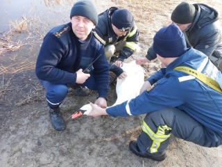 В Северодонецке спасателям пришлось доставать из озера лебедя