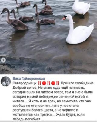 """Операция """"Спасти лебедя"""": ветеринары пытаются сохранить жизнь самке лебедя с """"Чистого озера"""""""